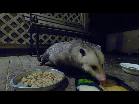 Possum Eats Thanksgiving Dinner